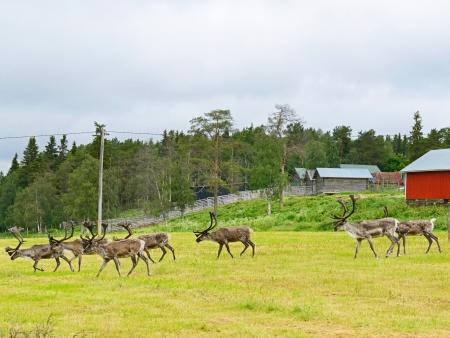 Peintures rupestres et élevage de rennes