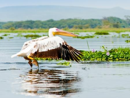 Lac de Naivasha et ses milliers d'oiseaux