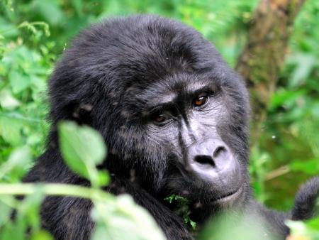 Observation des gorilles de montagnes