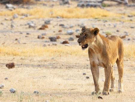 Lions et éléphants du désert !